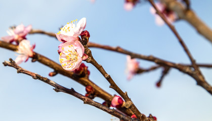 Blooming cherry branch over blue sky