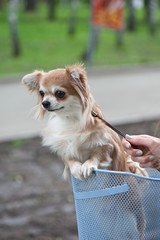 bicycle walking with chihuahua