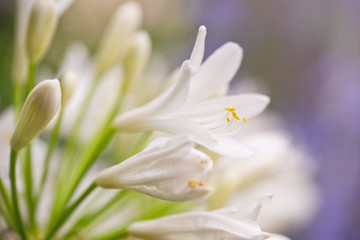Close up of a white agapanthus flower