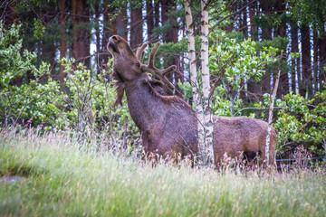 Eurasian Moose, Scotland