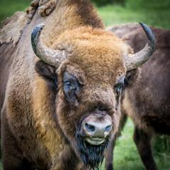 Buffalo, Scotland