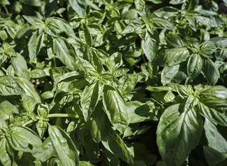 Italy, countryside, basil plants in a garden