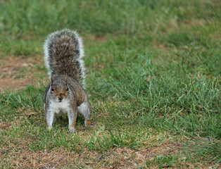 A Cute Grey Squirrel Out Searching for Food.
