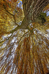 old willow in autumn time
