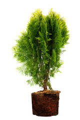 thuja Conifer Sapling Tree isolated on white, with roots