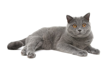 gray cat (breed scottish-straight, age 8,0 months) on a white ba