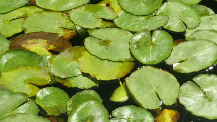 Water lily plant pads, Nymphaeaceae.