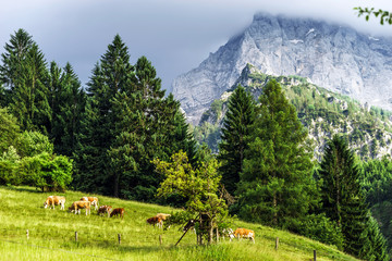 Green pasturage in high Alps