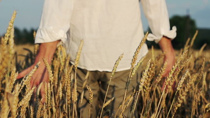 Man walking through wheat field, touching wheat spikes