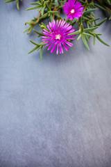 Lampranthus (Ice Plant) flowers on grey stone background
