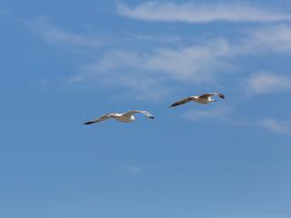 Sea birds seagulls (Larus Argentatus)