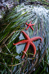 Blood Sea Stars
