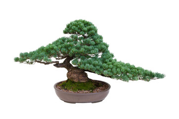 japanese white pine bonsai tree isolated