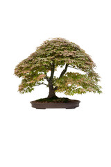 japanese maple acer bonsai tree isolated
