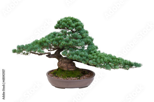 Aluminium Bonsai japanese white pine bonsai tree isolated