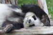 Giant panda bear sleeping