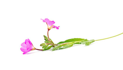 A flower is Impatiens