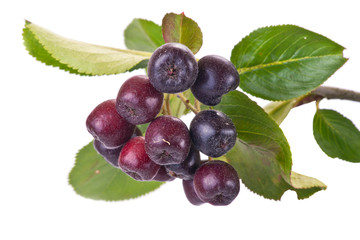 Black chokeberry Aronia or Black rowan