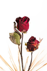 Isolated Withered roses