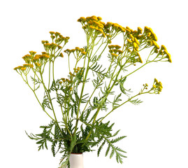 Tansy flowers isolated.