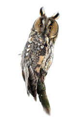 Long-Eared Owl on White