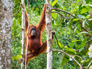 Female Borneo Orangutan at the Semenggoh Nature Reserve, Kuching