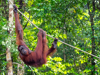 Borneo Orangutan at the Semenggoh Nature Reserve Near Kuching, M