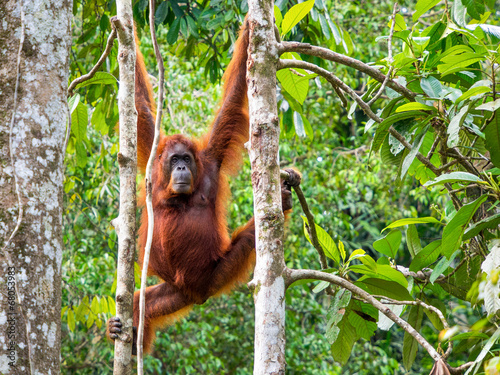 Foto op Canvas Aap Female Borneo Orangutan at the Semenggoh Nature Reserve, Kuching