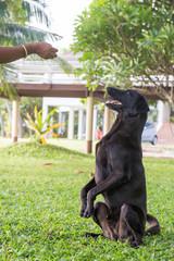 black dog Labrador outdoor training process