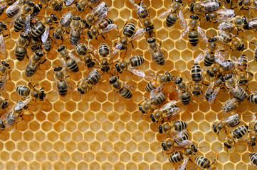 Close up view of the working bees