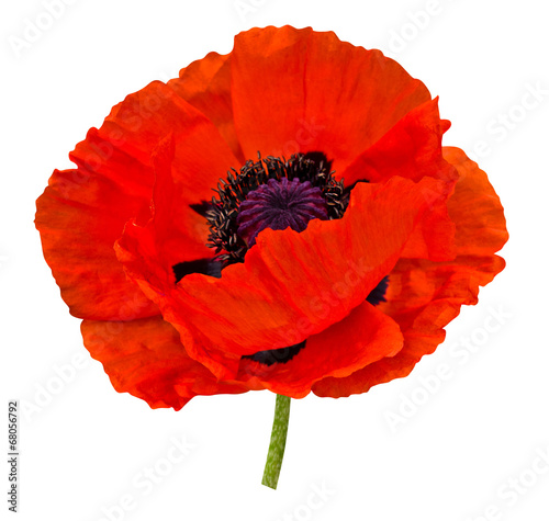 Foto op Canvas Poppy poppy