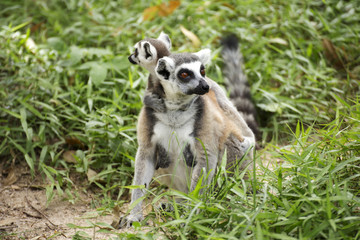 ring-tailed lemur with babies