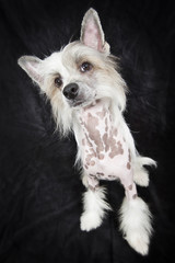 Hairless Chinese Crested dog looking up