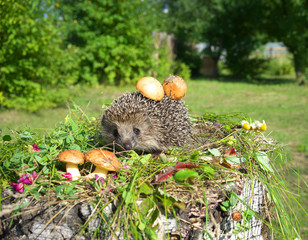 Hedgehog and mushrooms.