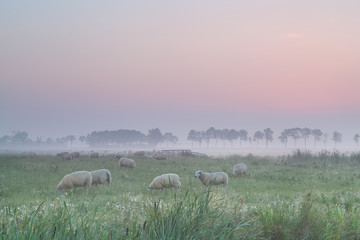 sheep on pasture in morning fog