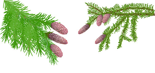 green fir branches with cones on white