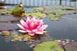 canvas print picture - Pink water lily in a pond