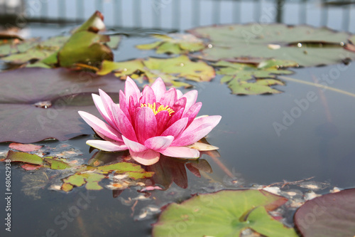 canvas print picture Pink water lily in a pond