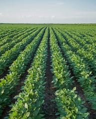 Soybean Rows on Field