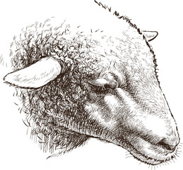 head of sheep