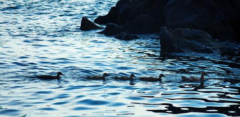 Ducks of the sea