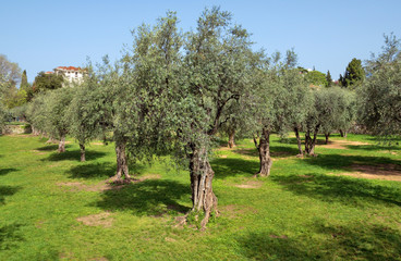 Olive trees at the garden near Cannes, France