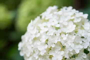A white hydrangea