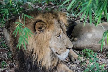 lion resting under tree