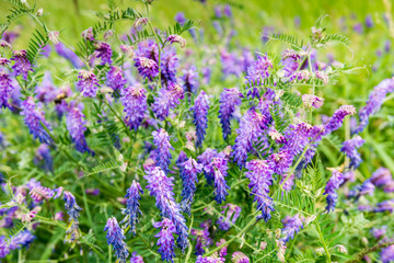 Flowering Cow Vetch from close