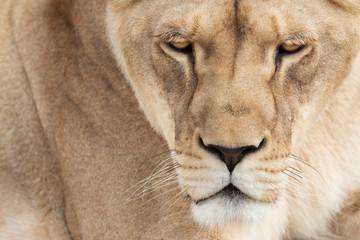 Lioness face detail