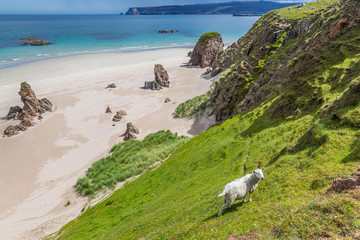 Sheep at the beach, Northern Highlands, Scotland