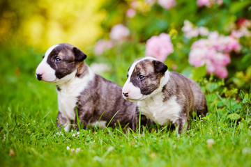 two adorable english bull terrier puppies