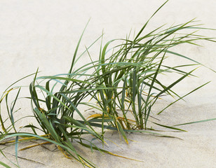 Grass on the beach.