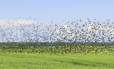 Flock of bird.